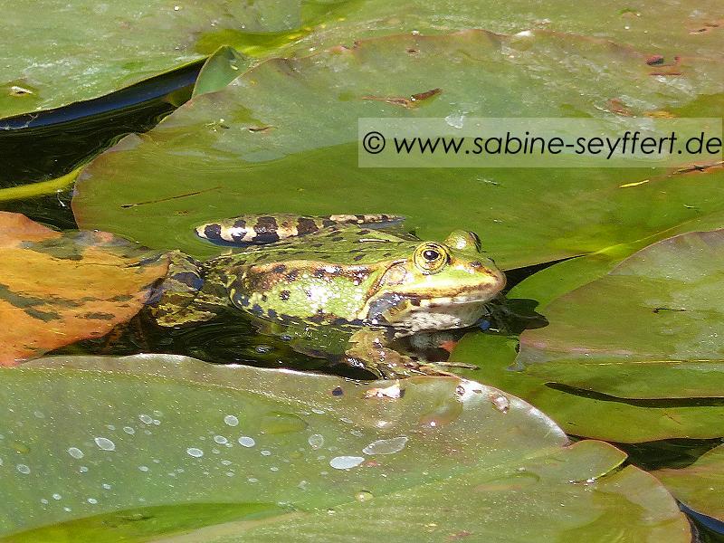 Südpark Frosch