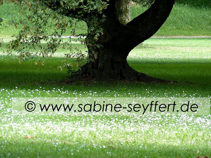 Bamberg Hein Gänseblümchen Baum